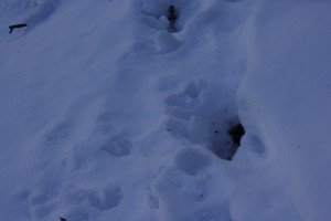 Bear Tracks Whetstone Mountain Crested Butte, CO | Photo Mike Hardaker Mountain Weekly News