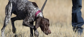 German Shorthaired Pointer Training First Day at New Home