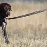 Training a Dog to Walk on a Leash