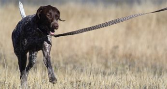 Train Your Dog to Walk on a Leash