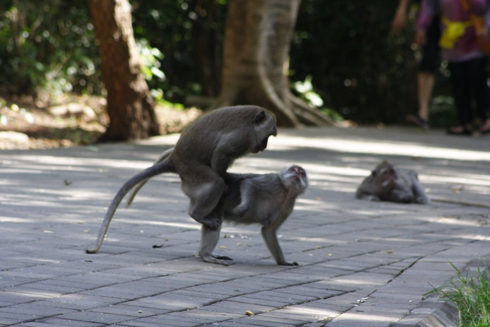 Bali Monkey's Photo Mike Hardaker