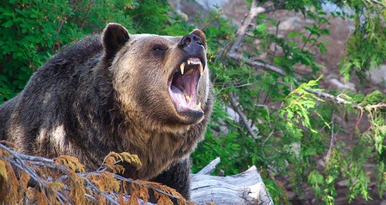 bear attack bear encounter tips
