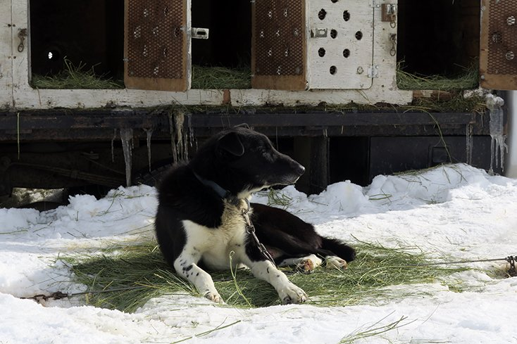 Togwotee Mountain Lodge Dog Sledding Dog Lounging in Snow