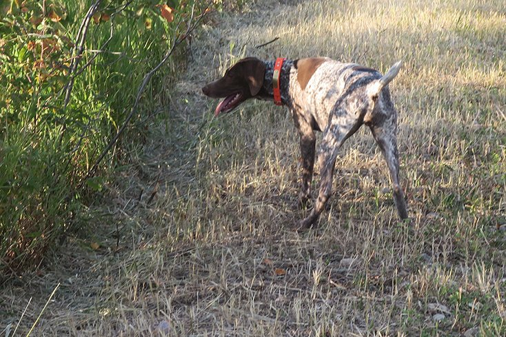 GSP Hunting Grouse